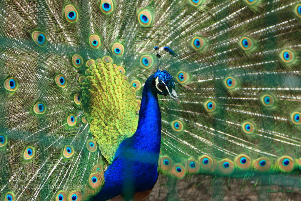 Photograph Peacock by Evgeniy Chernischov on 500px