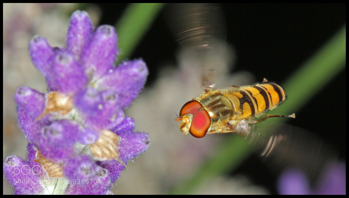 Photograph Hoverfly by Mike Smith on 500px