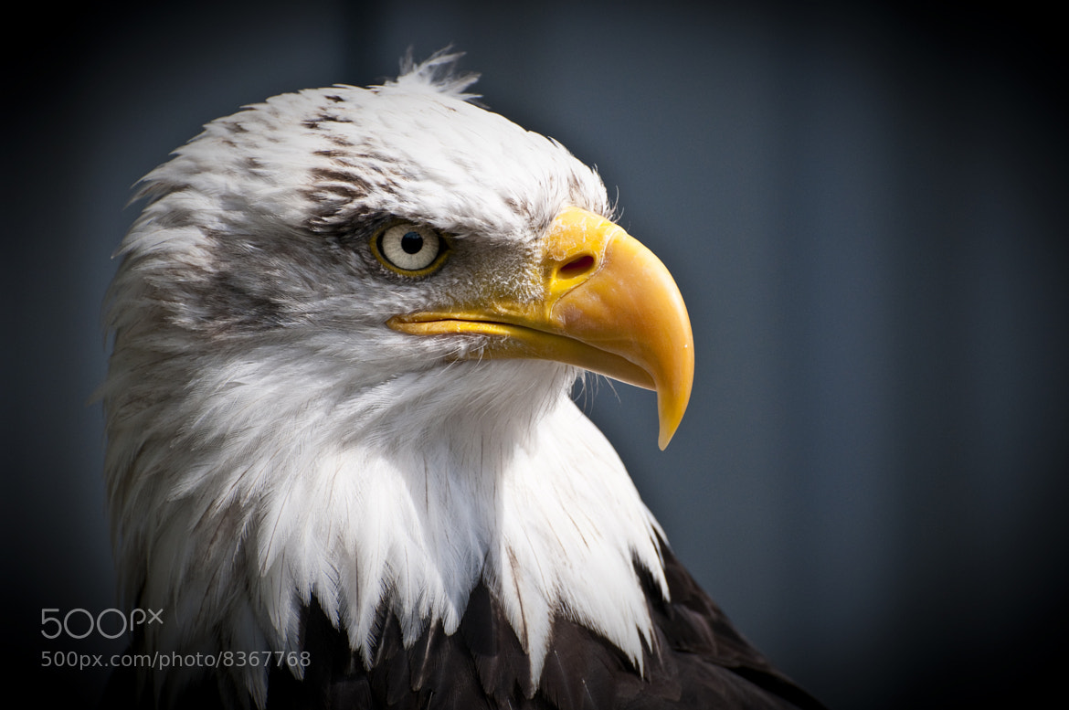 Photograph Bald eagle by Robert Dewar on 500px
