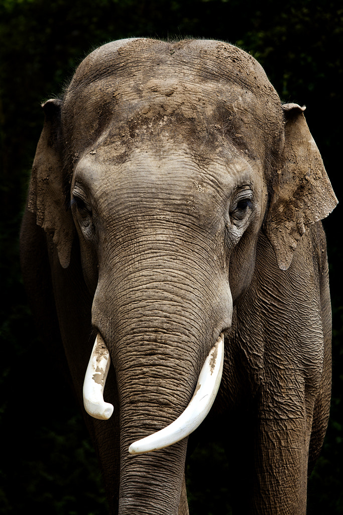 Photograph Elephant by Ander Aguirre on 500px