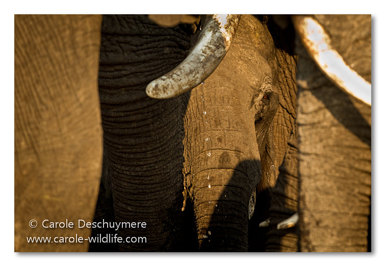 Photograph all elephant by Deschuymere Carole on 500px