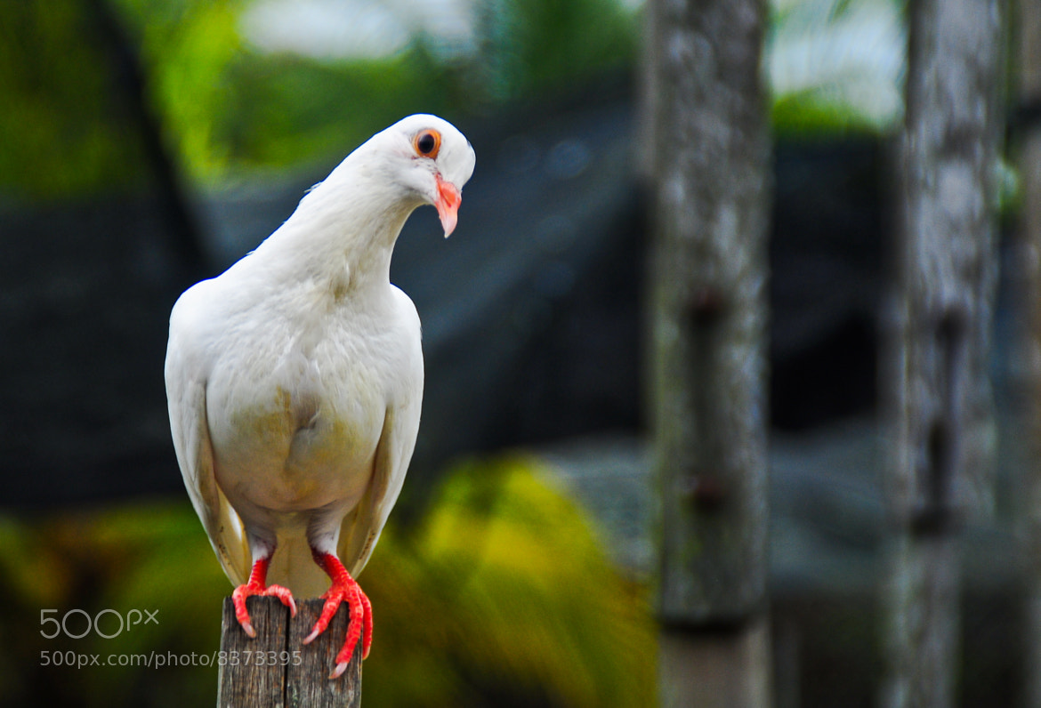 Photograph white pigeon by Arif Othman on 500px
