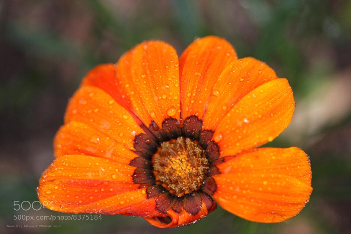 Photograph rainy gazania by Kim DongYoung on 500px