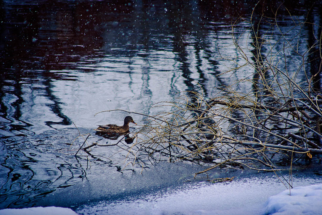 Photograph Duck on winter river by Art V. on 500px