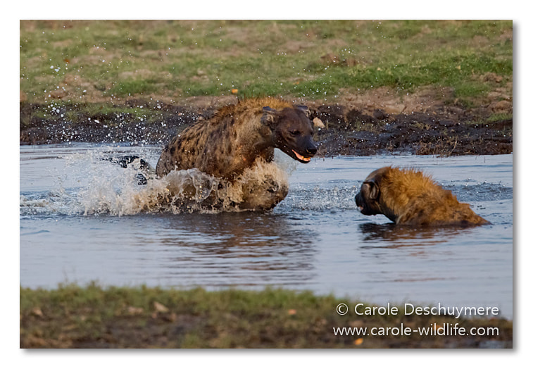 Photograph playing hyenas II by Deschuymere Carole on 500px