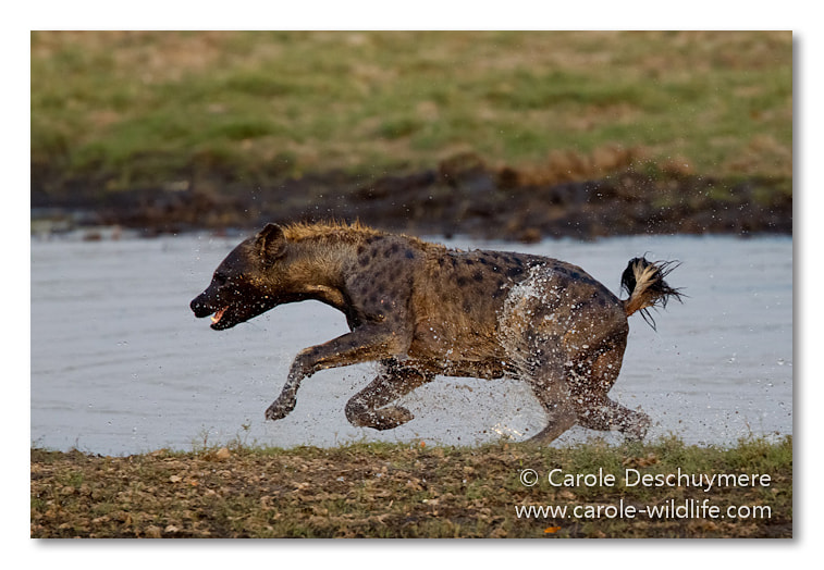 Photograph running hyena by Deschuymere Carole on 500px