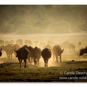 Buffalos in dust by Deschuymere Carole (DeschuymereCarole)) on 500px.com