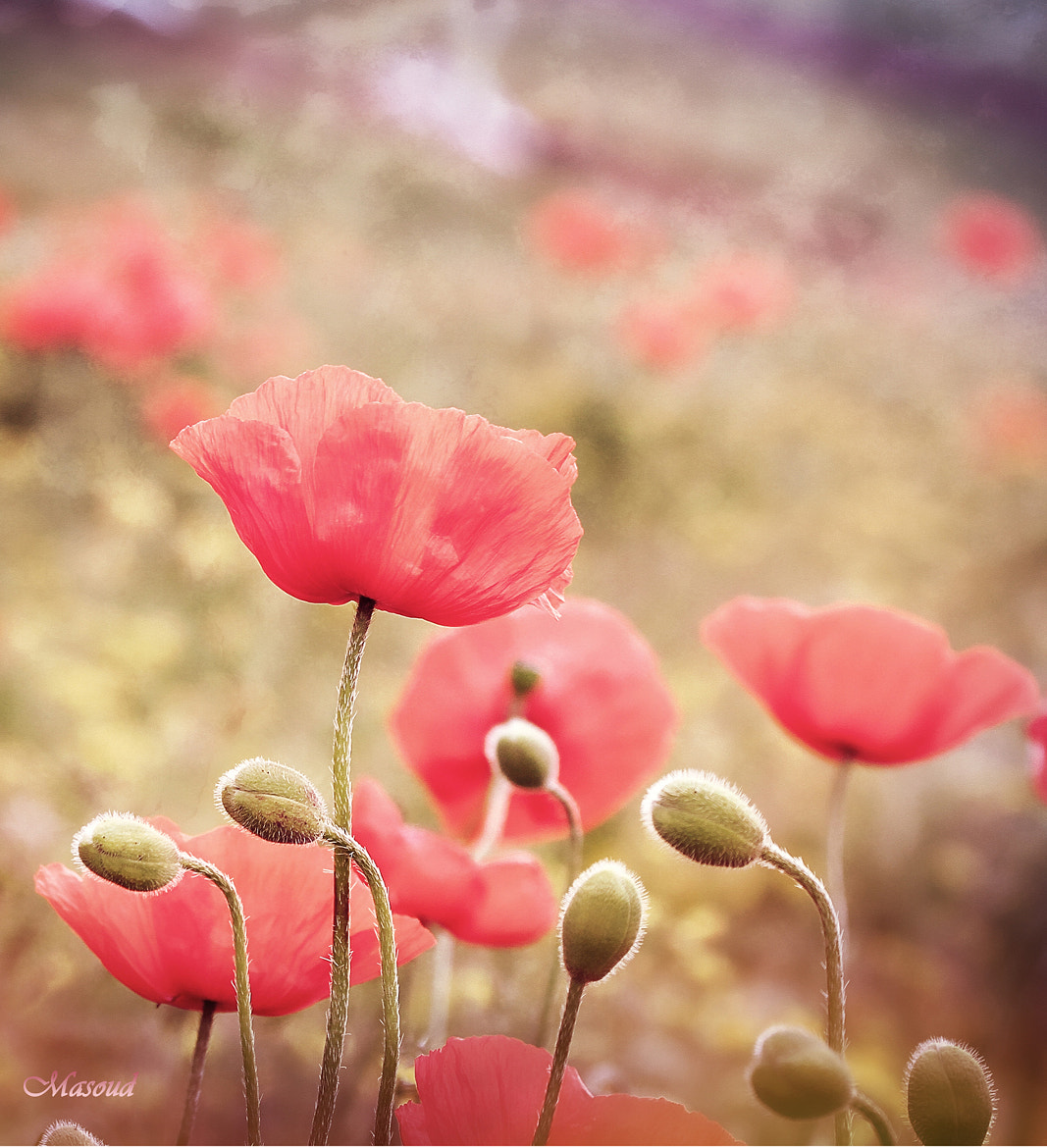 Photograph Flower by MasouD Aghalimi on 500px