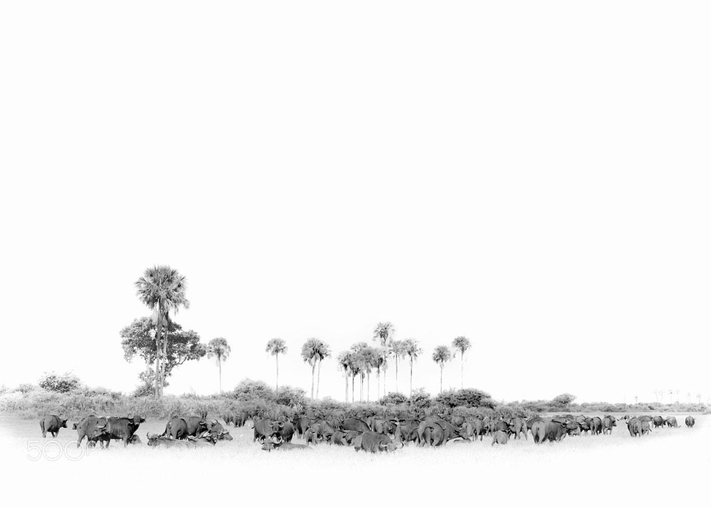 Photograph Buffalo Canvas by Mark Drysdale on 500px
