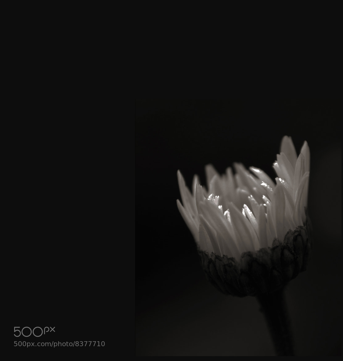 Photograph Daisy Coming UP by Mark Luftig on 500px