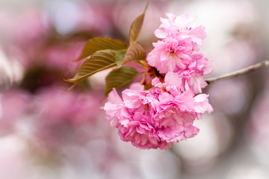 Pink Blossom 2 by Rossy Garcia on 500px.com