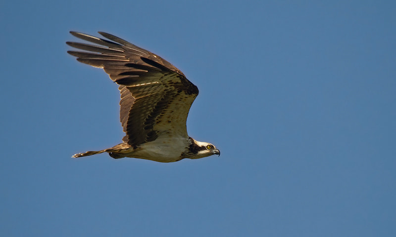 Photograph Osprey by Jacques de Klerk on 500px