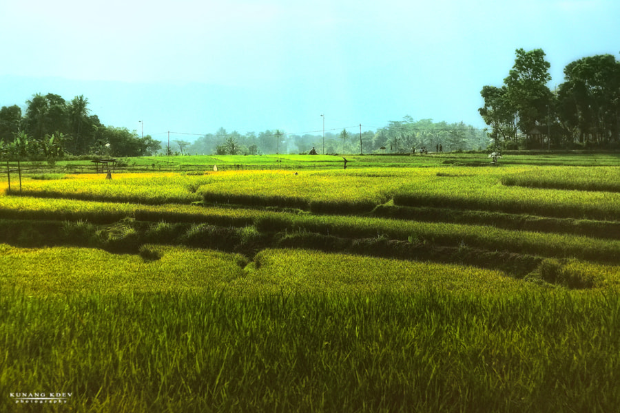 "Photograph "" rice field "" by kunang kdev on 500px"