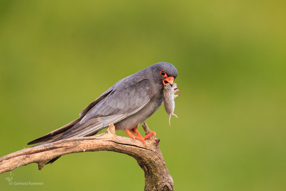 Photograph Bride gift of the red foot falcon male by Gerhard Kummer on 500px