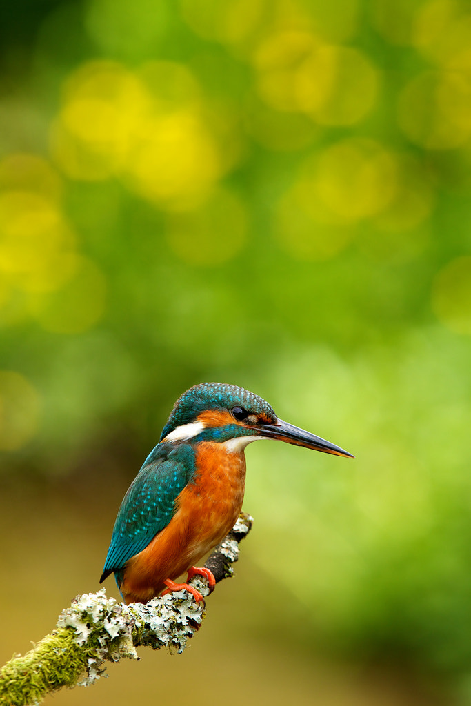 Photograph Mrs Kingfisher by Mark Bridger on 500px
