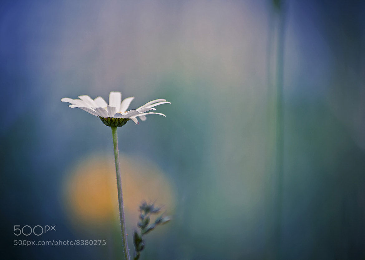 Photograph ♥... where do the daisies grow...♥ by Yohanna Del'heaumeau on 500px