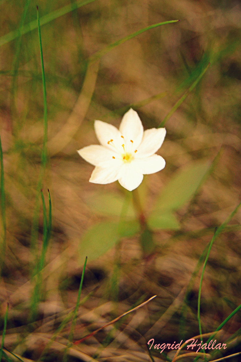Photograph flower by Ingrid Hjallar on 500px