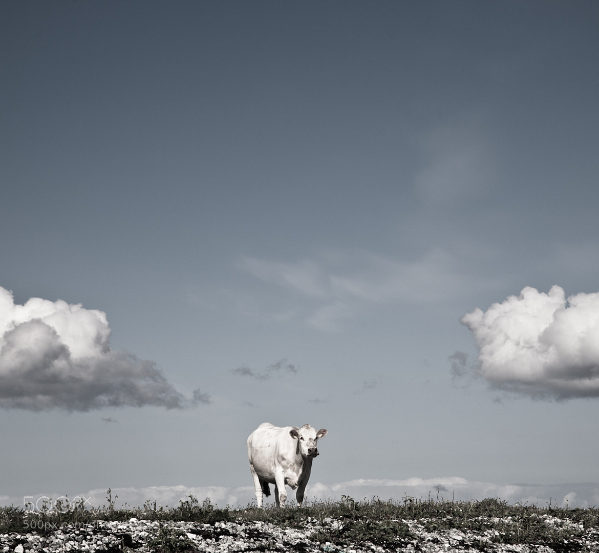 Photograph The white cow by audun nygaard on 500px