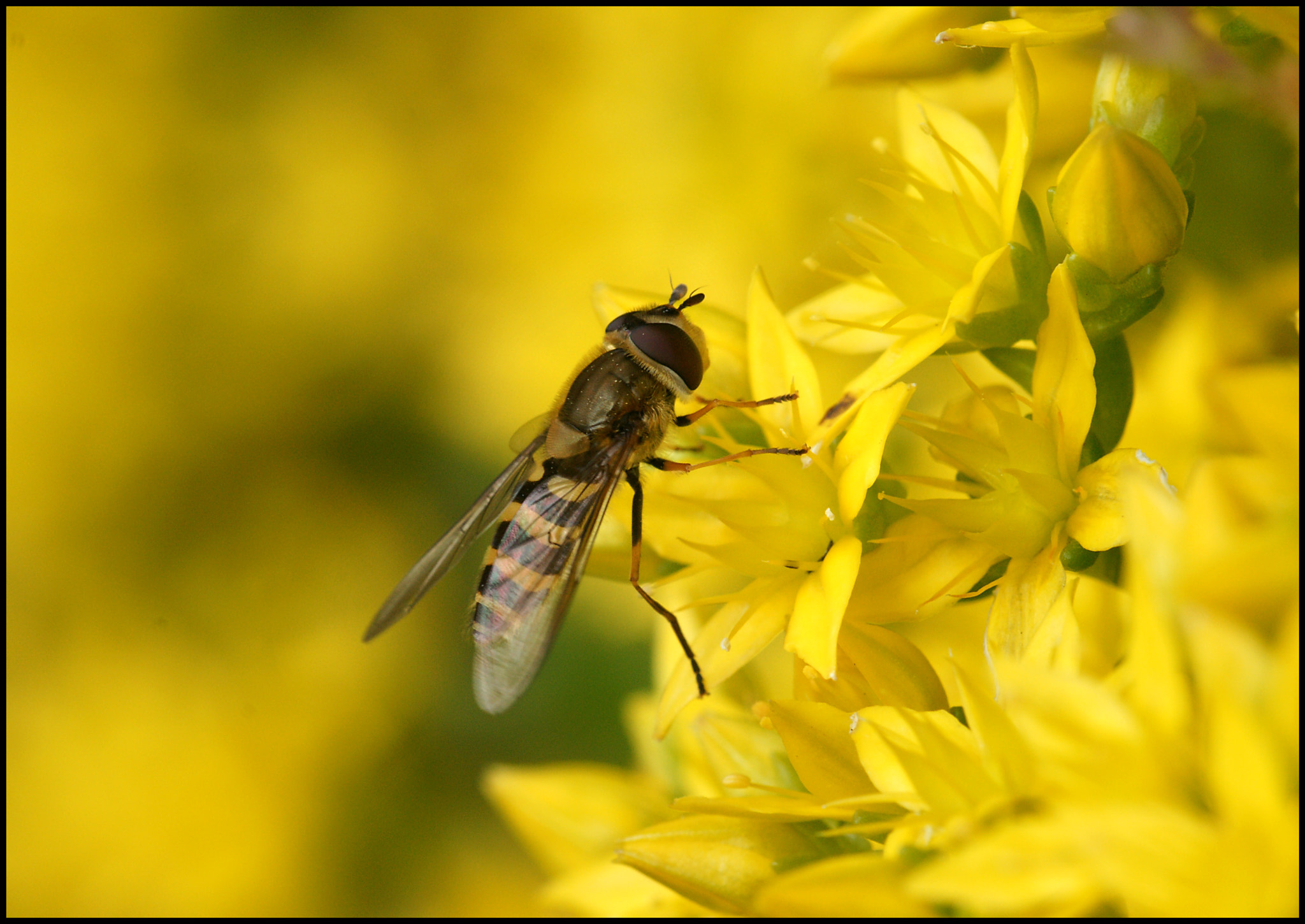 Photograph Hoverfly on Stonecrop by Mike Turtle on 500px