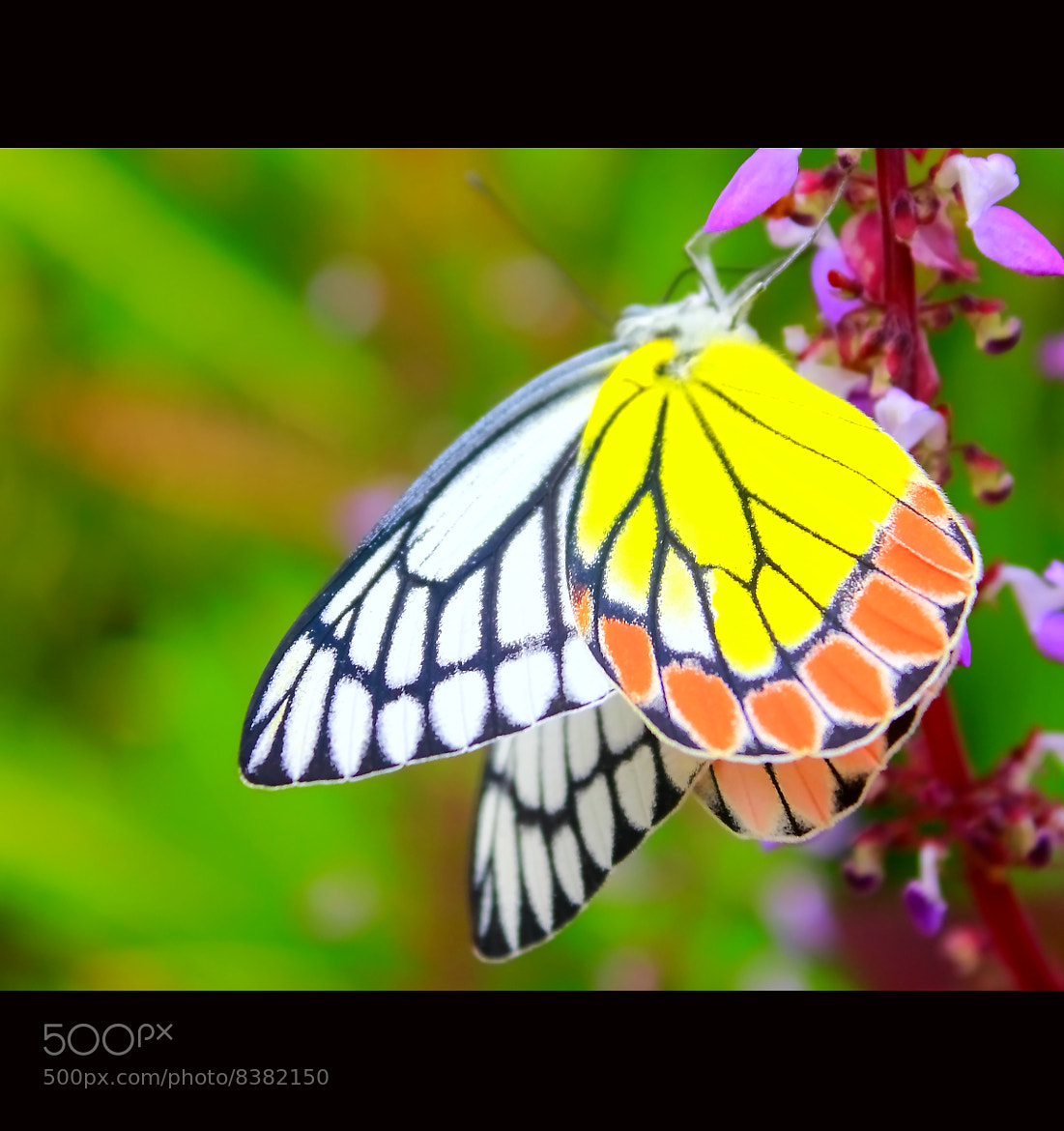 Photograph jezebel butterfly by Arun P. Nair on 500px