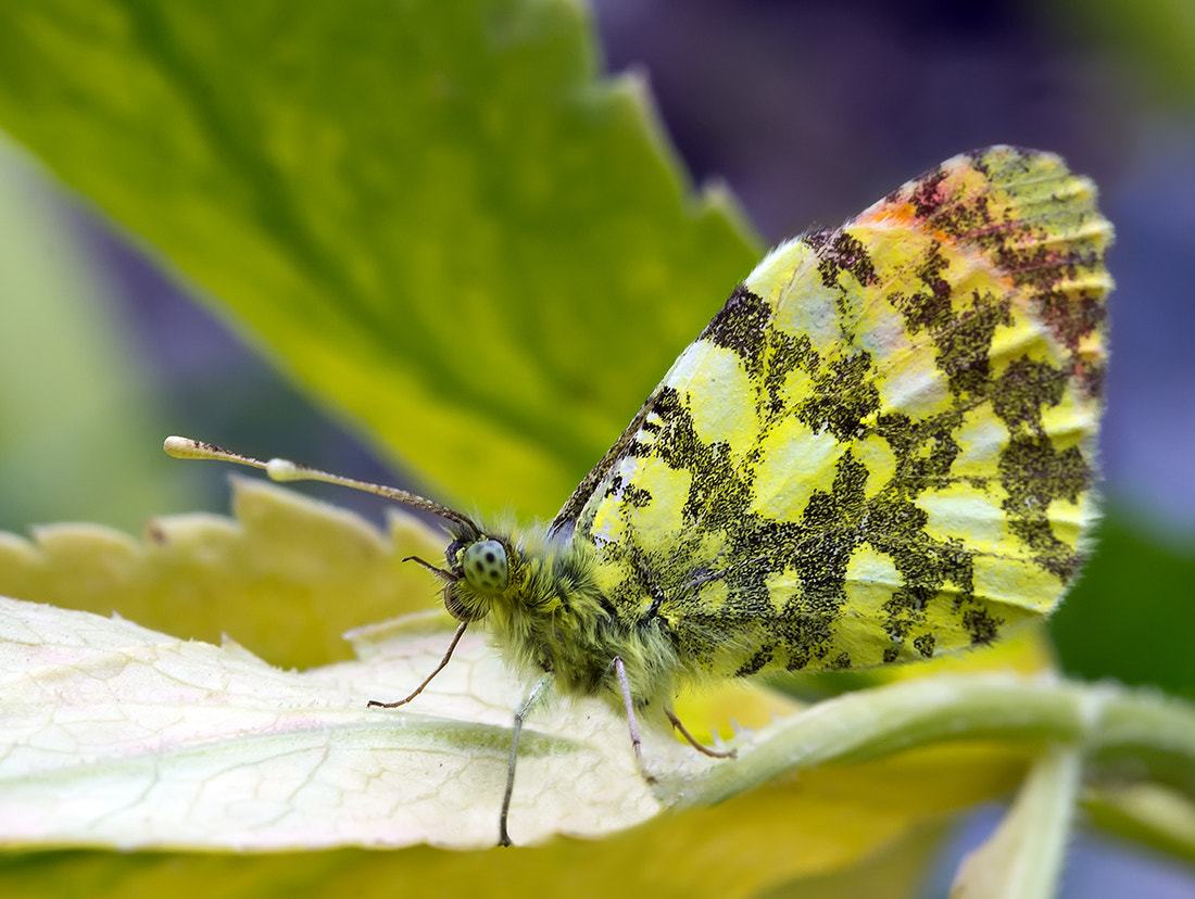 Photograph Butterfly 8 by Iman Mehr on 500px