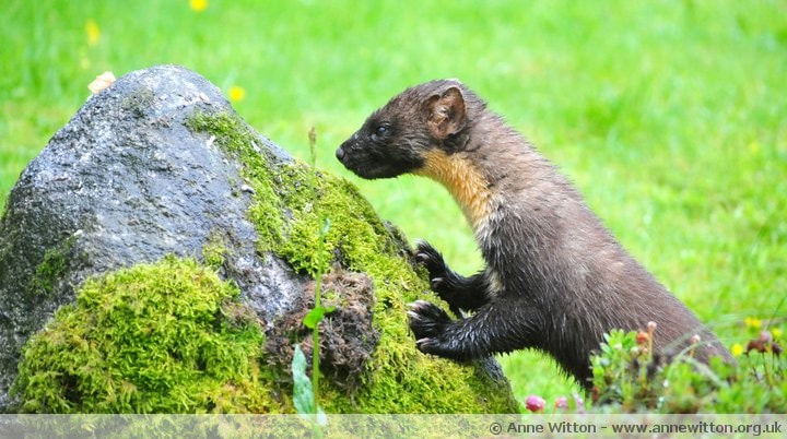 Photograph Pinemarten by Anne Witton on 500px