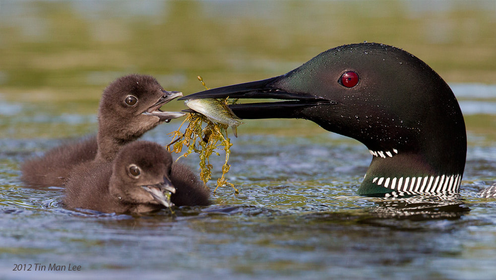Photograph Loons Feeding Chick by Tin Man on 500px