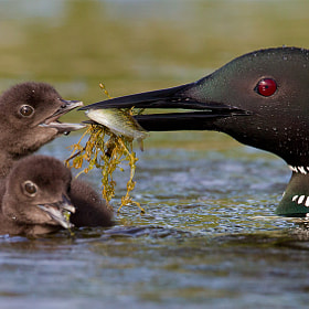 Loons Feeding Chick by Tin Man (tinman)) on 500px.com