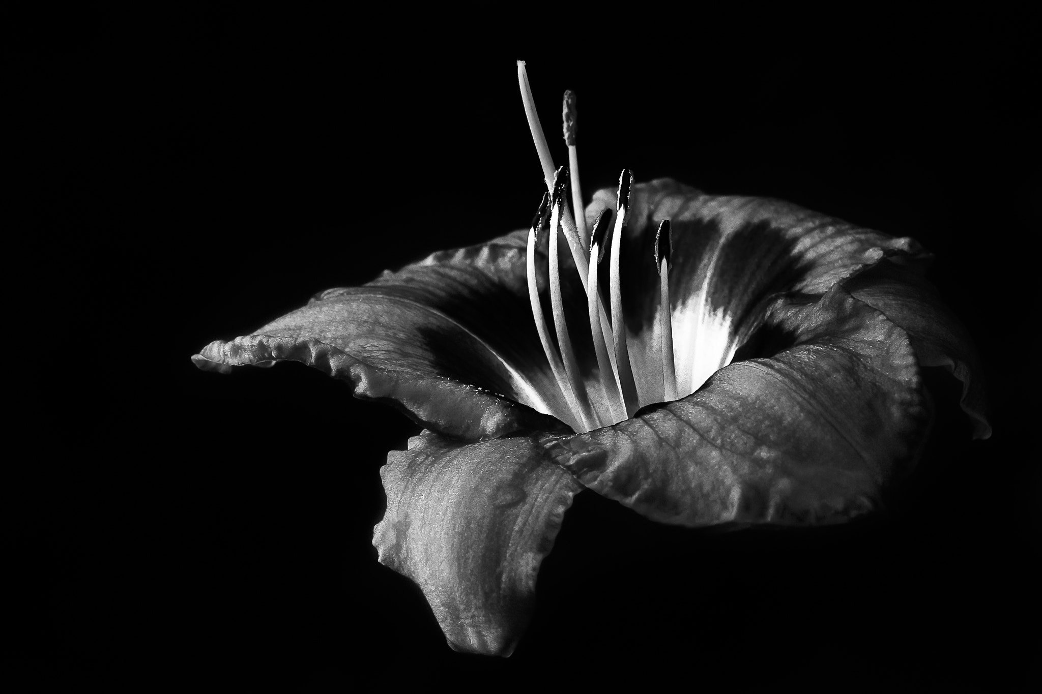 Photograph Day Lilly BnW 2 by David R. Dolezsar on 500px