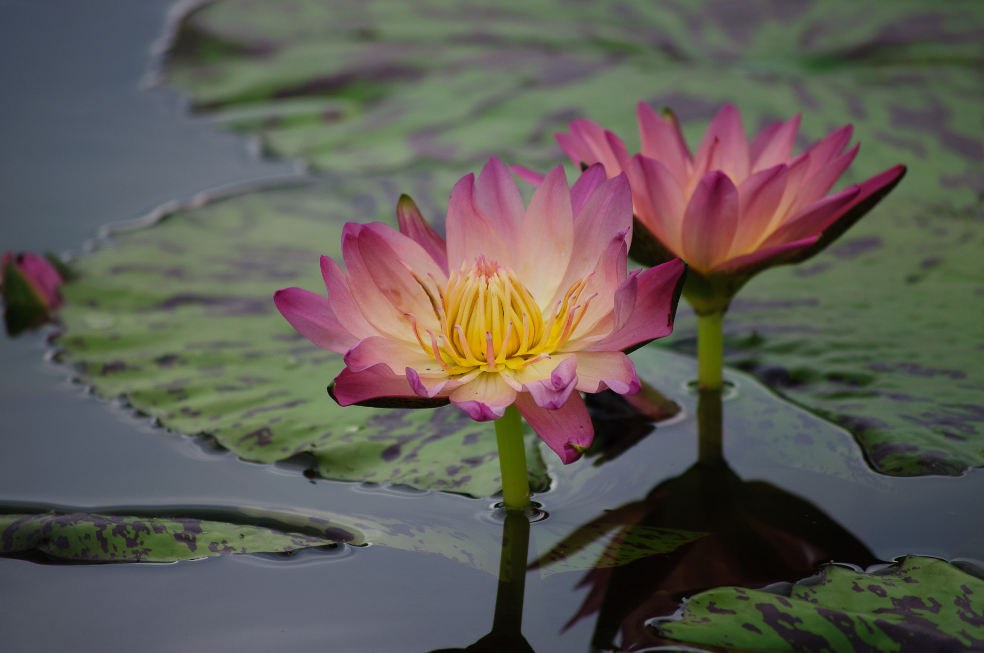Photograph water lilly by Gereon Schlüter on 500px