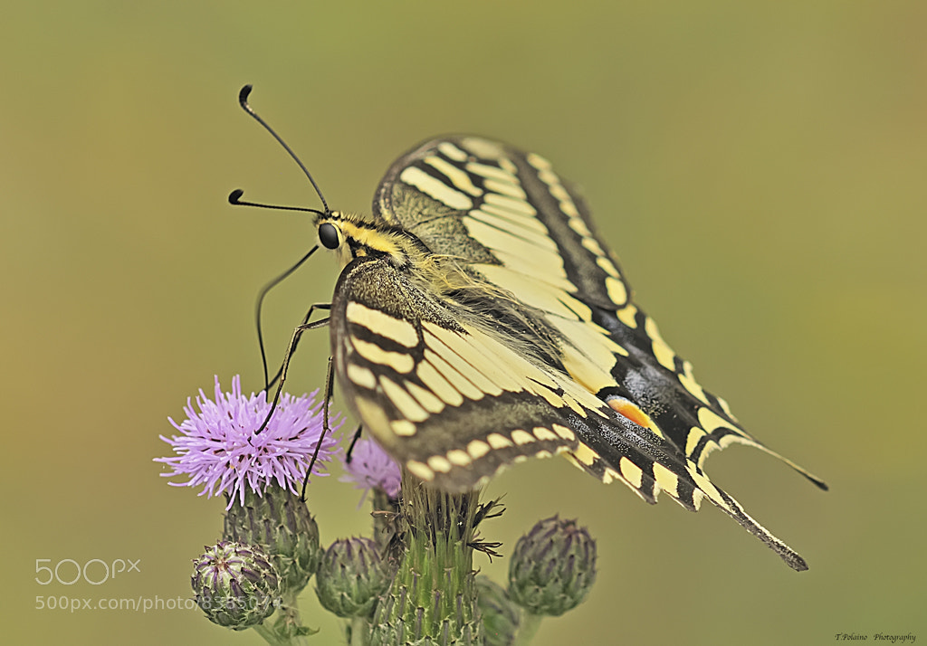 Photograph Papilio Machaon libando. by Tomas Polaino on 500px
