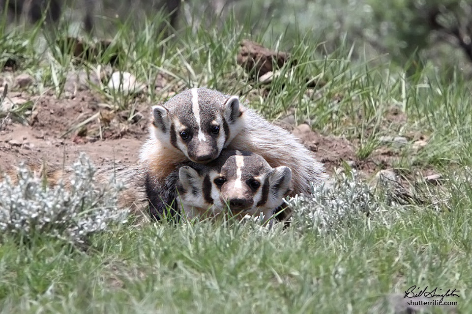 Photograph Badger Play by Bill Singleton on 500px