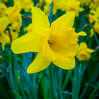 Постер, плакат: Daffodil Narcissus Flower