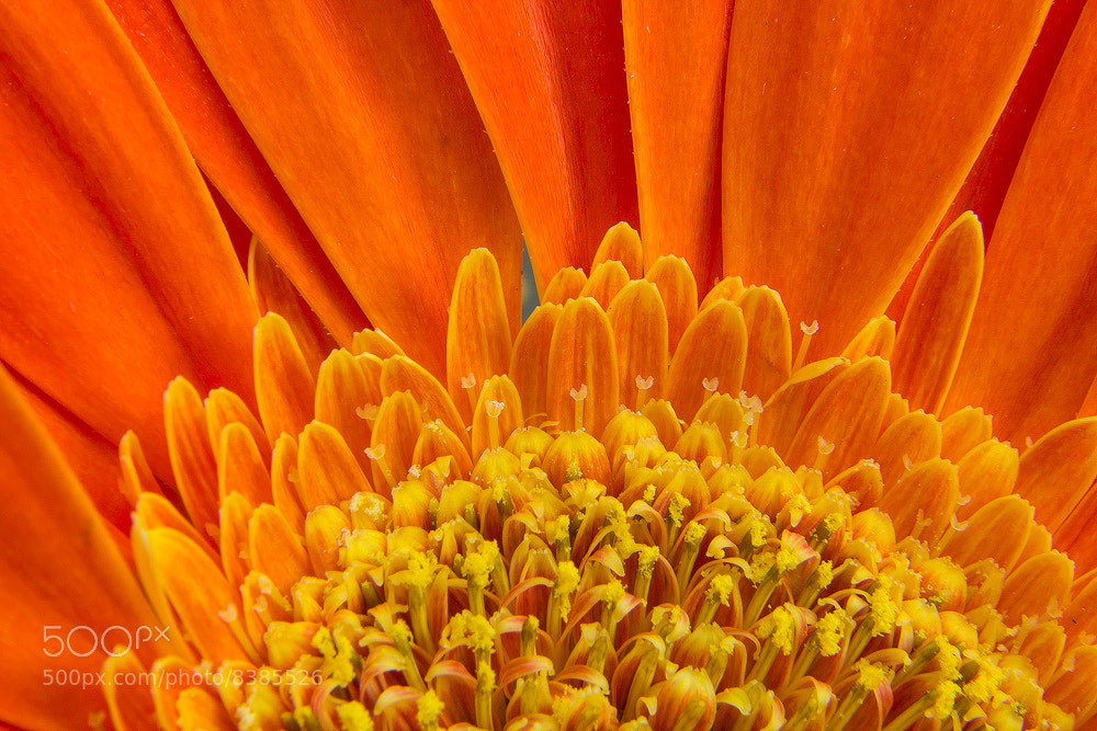 Photograph Orange Flower 2 by Paul Dekort on 500px