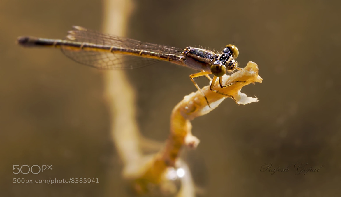 Photograph DragonFly by Prajesh Gopal on 500px