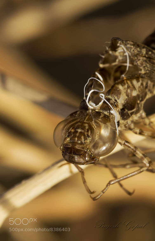 Photograph Skeleton of Dragonfly by Prajesh Gopal on 500px