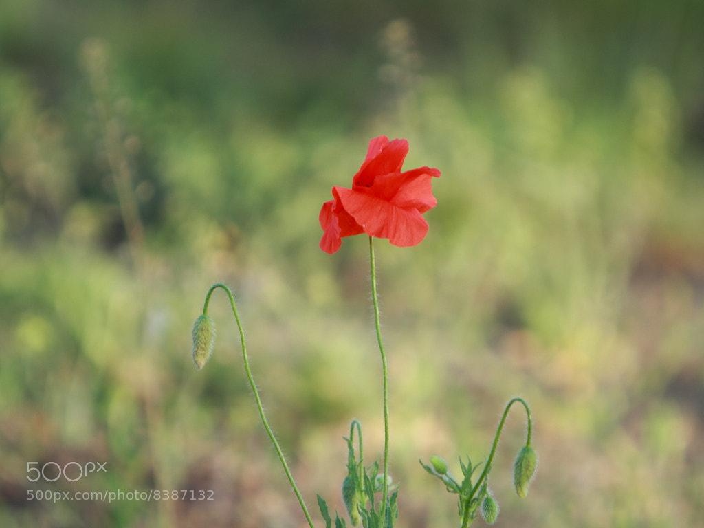 Photograph amapola by Evgeniy Chernischov on 500px