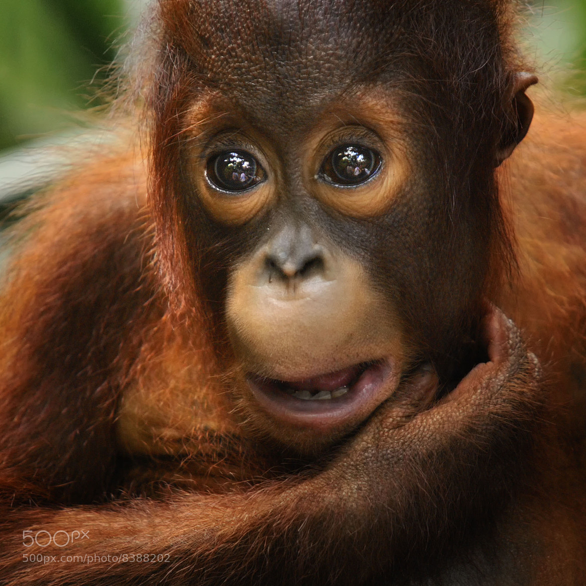 Photograph Orang Utan by toonman blchin on 500px