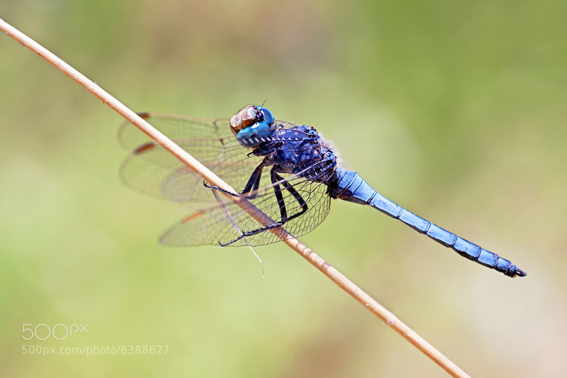 Photograph Southern Skimmer by Matt Berry on 500px