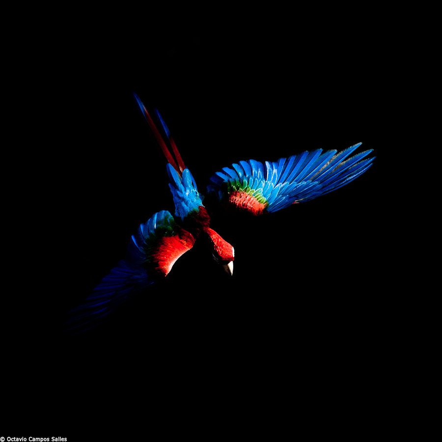 Photograph Red-and-green macaw (Ara chloropterus) by Octavio Campos Salles on 500px