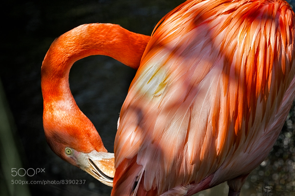 Photograph Flamingo 2 by Gustavo Castillo on 500px