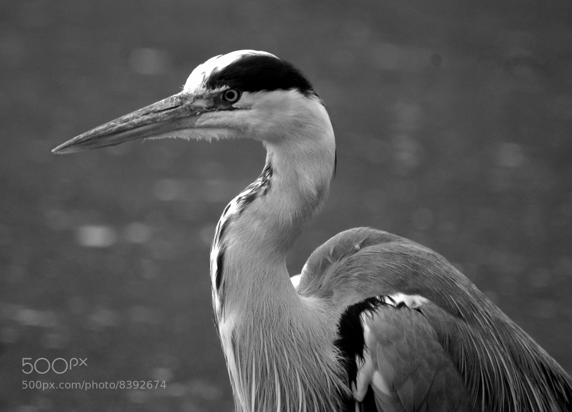 Photograph Heron by Megan Trace on 500px
