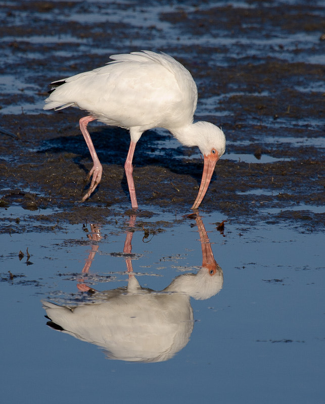 Photograph White Ibis by Randy Oleson on 500px