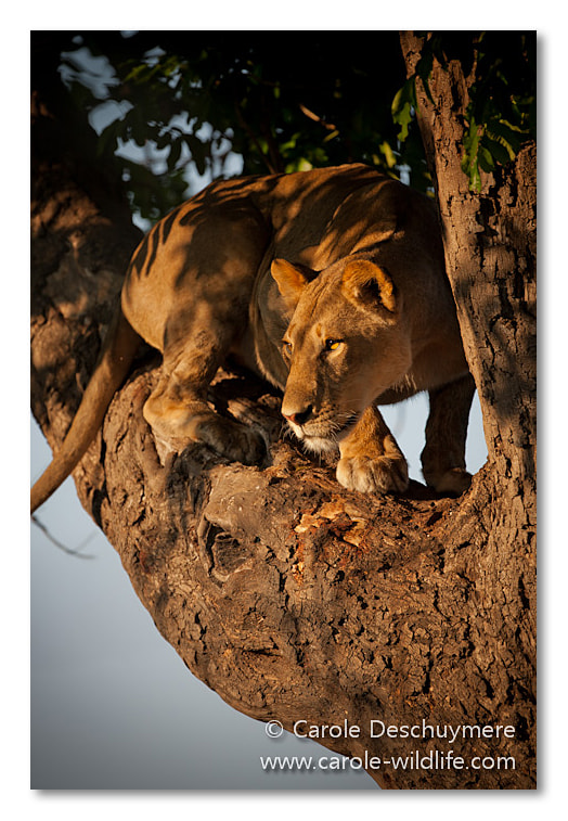Photograph lioness in tree by Carole Deschuymere on 500px