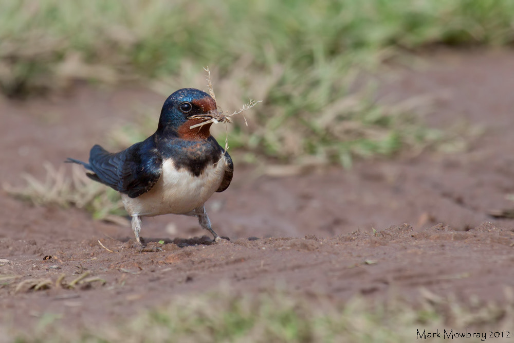 Photograph swallow by Mark Mowbray on 500px