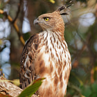 Постер, плакат: The changeable hawk eagle or crested hawk eagle
