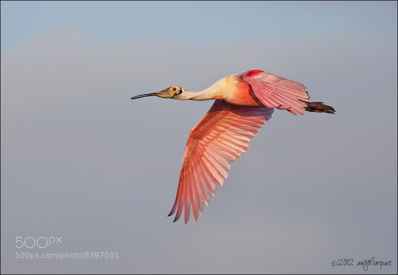 Photograph Roseatte Spoonbill by Amy Marques  on 500px