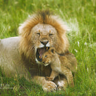 Постер, плакат: Lion Biting Cub Kenya