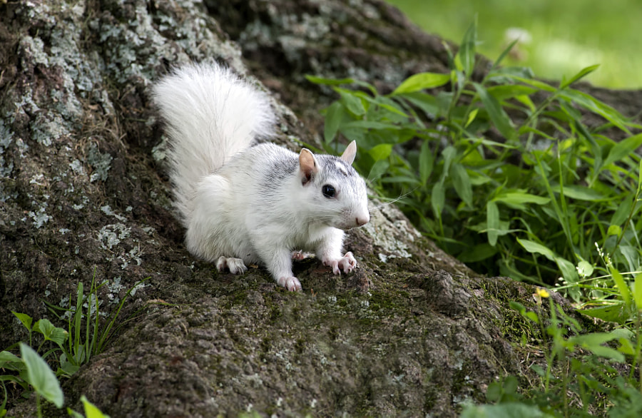 white squirel by stuart wanuck on 500px