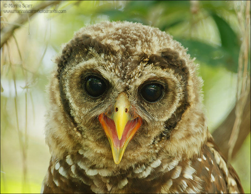 Photograph Barred Owlet Portrait by Marina Scarr on 500px